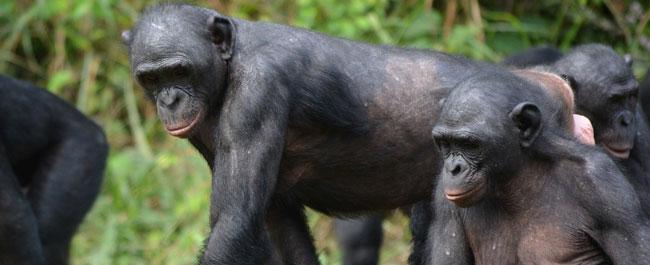 come fanno lamore li scimmie