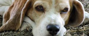 A Natale fai un gesto d'amore adotta un cane anziano