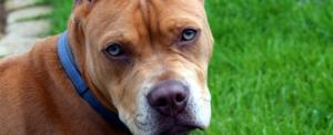 Milano patentino per cani potenzialmente pericolosi